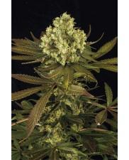 Sour Blueberry - Humboldt Seeds - feminizovaná semena