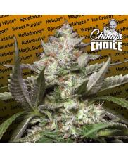 Auto Kong 4 - Paradise Seeds Chong's Choice - autoflowering