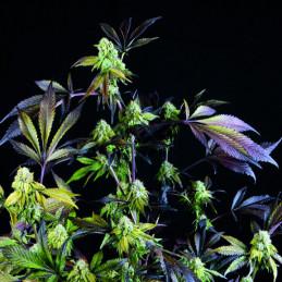 Sunset Sherbet - Pyramid Seeds American Strains - feminizovaná semena