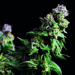 Purple Urkle - Pyramid Seeds American Strains - feminizovaná semena