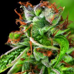 Double OG Haze - Pyramid Seeds American Strains - feminizovaná semena