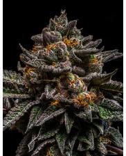 Brain Cake - Ripper Seeds - feminizovaná semena