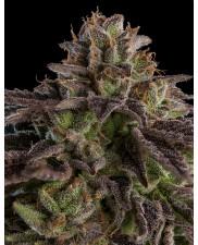 Kmintz - Ripper Seeds - feminizovaná semena