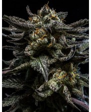 Zombie Kush - Ripper Seeds - feminizovaná semena