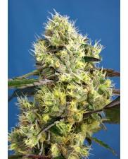 Sweet Gelato Auto® - Sweet Seeds - autoflowering - ( AKCE 3+1ks , 5+2ks )