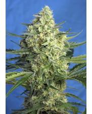 Jack 47 XL Auto® - Sweet Seeds - autoflowering - ( AKCE 3+1ks , 5+2ks )