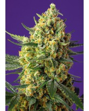 Crystal Candy XL Auto® - Sweet Seeds - autoflowering - ( AKCE 3+1ks , 5+2ks )