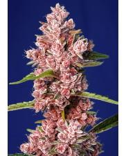 Tropicanna Poison F1 Fast Version® - Sweet Seeds - feminizovaná semena - ( AKCE 3+1ks , 5+2ks )