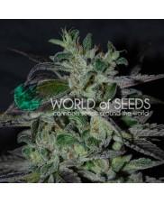 Strawberry Blue Early Harvest - World of Seeds - feminizovaná semena (rychlejší květ)