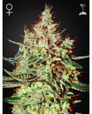 K-Train - Green House Seeds - feminizovaná semena