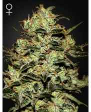 Moby Dick - Green House Seeds - feminizovaná semena