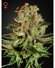 Super Bud - Green House Seeds - feminizovaná semena