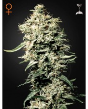 White Rhino - Green House Seeds - feminizovaná semena