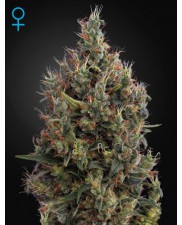 Big Bang Auto - Green House Seeds - autoflowering