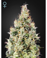 Exodus Cheese Auto CBD - Green House Seeds - medical autoflowering - 3 ks