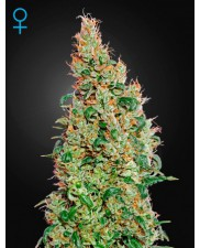Green-O-Matic Auto - Green House Seeds - autoflowering