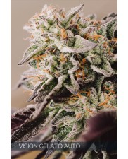 Vision Gelato Auto - Vision Seeds - autoflowering