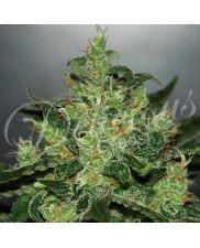 Critical x Jack Harar - Delicious seeds - Autoflovering