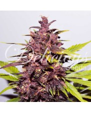 Auto Dark Purple - Delicious seeds - 1 ks SLEVA 35%
