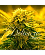 Sugar Black Rose - Delicious seeds - autoflowering