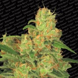 Auto Acid - Paradise Seeds  - autoflowering