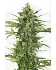 Blue Cheese Automatic - Dinafem - autoflowering