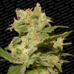 Auto Jack - Paradise Seeds - autoflowering