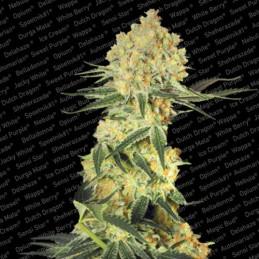 Auto Wappa - Paradise Seeds - autoflowering