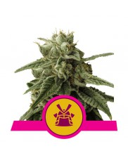 Shogun - Royal Queen Seeds - feminizovaná semena