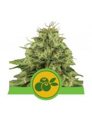 Haze Berry Automatic - Royal Queen Seeds - autoflowering