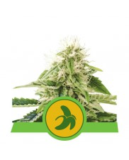 Fat Banana Automatic - Royal Queen Seeds - autoflowering