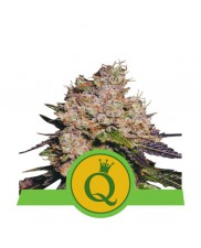 Purple Queen Automatic - Royal Queen Seeds - autoflowering