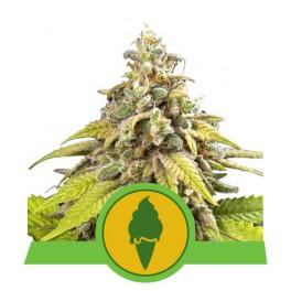 Green Gelato Automatic - Royal Queen Seeds - autoflowering