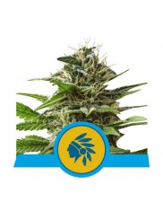 Tatanka Pure CBD - Royal Queen Seeds - Feminizovaná medical