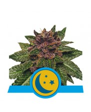 Purplematic CBD - Royal Queen Seeds - medical autoflowering