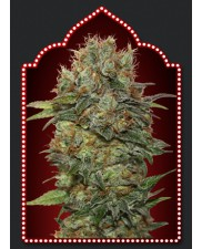 Auto Chocolate Kush - 00seeds - autoflowering - 5 ks