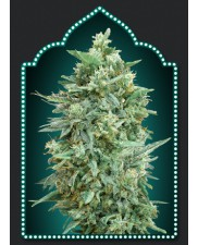 Auto Auto Northern Lights XXL - 00seeds - autoflowering - 5 ks