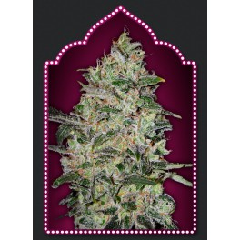Bubble Gum Fast Version - 00seeds - feminizovaná semena - 5 ks