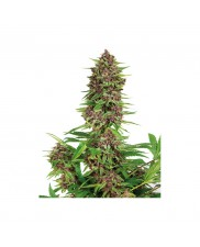 Purple Kush - Buddha Seeds Bank - feminizovaná semena