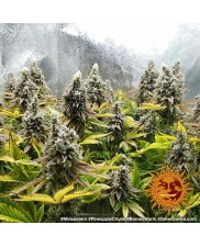 Pineapple Chunk - Barney's Farm - feminizovaná semena