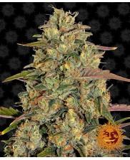 Amnesia Lemon  - Barney´s Farm Seeds -  feminizovaná semena marihuany
