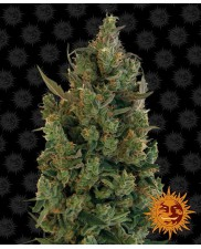 Blueberry Cheese - Barney´s Farm - feminizovaná semena