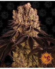 Purple Punch ™- Barney´s Farm - feminizovaná semena