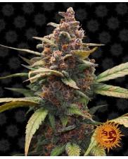 Ayahuasca Purple - Barney's Farm - feminizovaná semena