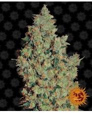 Tangerine Dream  - Barney's Farm - feminizovaná semena