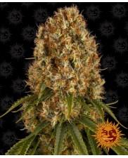 Orange Sherbert ™- Barney´s Farm - feminizovaná semena