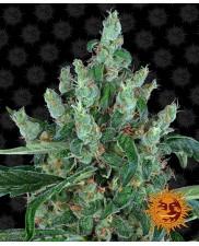 Laughing Buddha  - Barney's Farm - feminizovaná semena