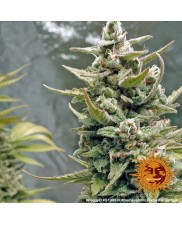 G 13 Haze  - Barney's Farm - feminizovaná semena