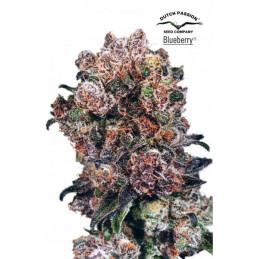 Blueberry ®.feminizovaná semínka konopí