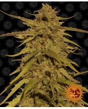 Pineapple Haze - Barney´s Farm - regular - 10 ks